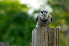 Blue jay looking at viewer Royalty Free Stock Photo