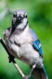 Blue Jay Making Eye Contact Royalty Free Stock Photo