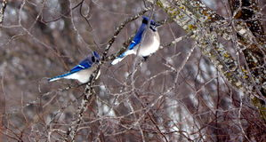 Blue jay mates in a tree. Blue jays come out after the winter snows during a rare appearance of the sun Royalty Free Stock Photos
