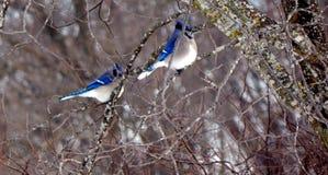 Blue jay mates in a tree Royalty Free Stock Photos