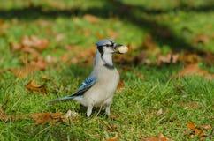 Blue Jay mit einer ganzen Erdnuss Stockfoto