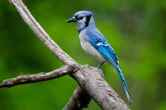 Blue Jay on a Natural Perch stock photography