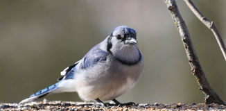 Blue jay in nature Royalty Free Stock Images