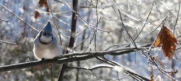 Blue jay in nature during winter Royalty Free Stock Images
