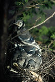 Blue Jay Nestlings and Parent. Close-up spring portrait of blue jay nestlings and parent Stock Image