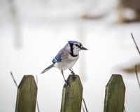 Blue Jay. A North American Bird Stock Photo