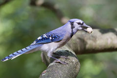 Blue jay with a nut. Royalty Free Stock Image