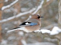 Blue Jay On The Snow Branch Royalty Free Stock Image