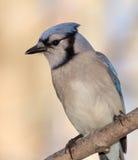 Blue Jay - Ontario, Canada. Blue Jay (Cyanocitta cristata) - Ontario, Canada Royalty Free Stock Image
