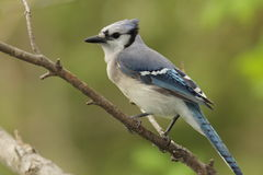 Blue Jay - Ontario, Canada Royalty Free Stock Photos