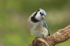 Blue Jay - Ontario, Canada Stock Photography