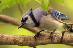 Blue Jay - Ontario, Canada Royalty Free Stock Images