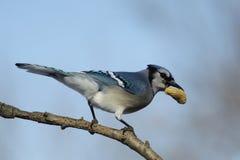 Blue Jay with peanut Royalty Free Stock Image