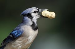 Blue Jay with peanut Stock Image