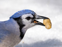 Blue Jay with Peanut Royalty Free Stock Photography