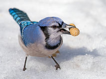 Blue Jay. With peanut in mouth standing in the snow Royalty Free Stock Images