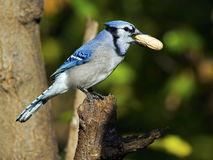 Blue Jay with Peanut Royalty Free Stock Images