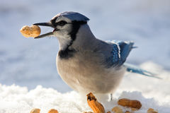 Blue jay and peanuts. A blue jay - Cyanocitta cristata - is having a peanuts feast on a sunny but cold winter day. Quebec, Canada stock image