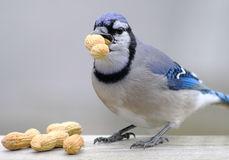 Blue Jay With Peanuts Stock Images
