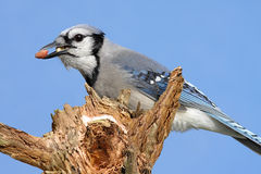 Blue Jay With Peanuts Royalty Free Stock Images