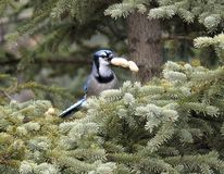 Blue Jay And Peanuts Stock Images