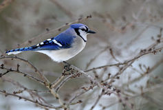 Free Blue Jay Perched Royalty Free Stock Photo - 17204905