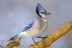 Blue Jay. Perched On A Branch Stock Image
