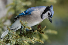 Blue Jay. Perched on a branch Stock Photos