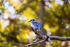 Blue Jay perched on a branch in fall royalty free stock photo