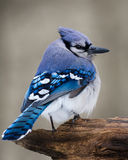 Blue Jay. A blue jay perched on a cold winter day Royalty Free Stock Photos