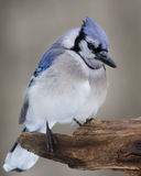 Blue Jay. A blue jay perched on a decayed tree branch Royalty Free Stock Image