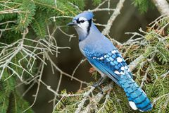 Blue Jay - Cyanocitta cristata. Blue Jay perched on an evergreen branch. Lynde Shores Conservation Area, Whitby, Ontario, Canada royalty free stock image