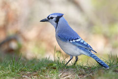 Blue Jay Perched on the Ground Royalty Free Stock Photo