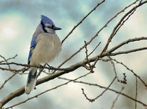 Blue Jay perched in morning light Stock Photo