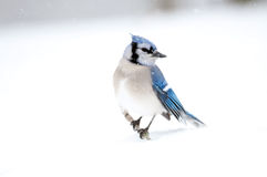 Blue Jay Perched On A Stick Stock Photography