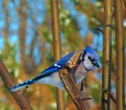 Blue Jay. Perched on a pear tree branch Stock Photography