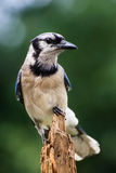 A Blue Jay perched sideways on this pine stump. Royalty Free Stock Photography