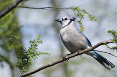 Blue Jay Perched in a Tree Stock Image