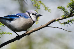 Blue Jay Perched in a Tree Royalty Free Stock Photography