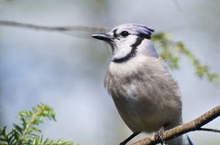 Blue Jay Perched in a Tree Royalty Free Stock Photos