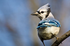 Blue Jay Perched in a Tree Stock Photo