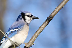 Blue Jay Perched in a Tree Stock Images