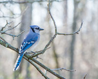 Blue Jay Perched Stock Photo
