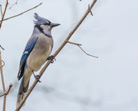 Blue Jay Perched Royalty Free Stock Images