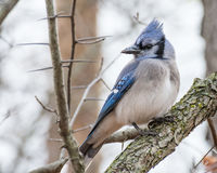 Blue Jay Perched Royalty Free Stock Photos