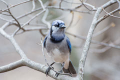 Blue Jay Perched Royalty Free Stock Photo