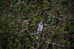 A blue jay Stock Photography