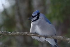 Blue Jay Perched on a Tree Branch stock image