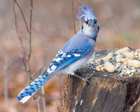 Blue Jay Perched Stock Photos