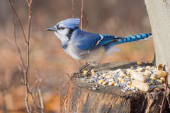 Blue Jay Perched Royalty Free Stock Image